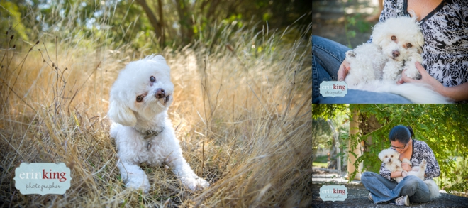 Bichon Pet Photography