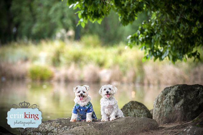 Maltese pet photography