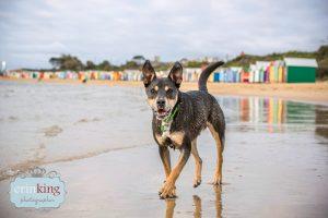 Beach Kelpie