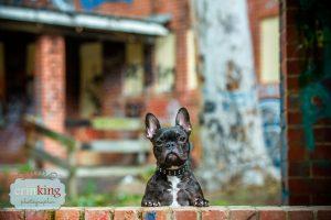 Frenchie pet photography portfolio