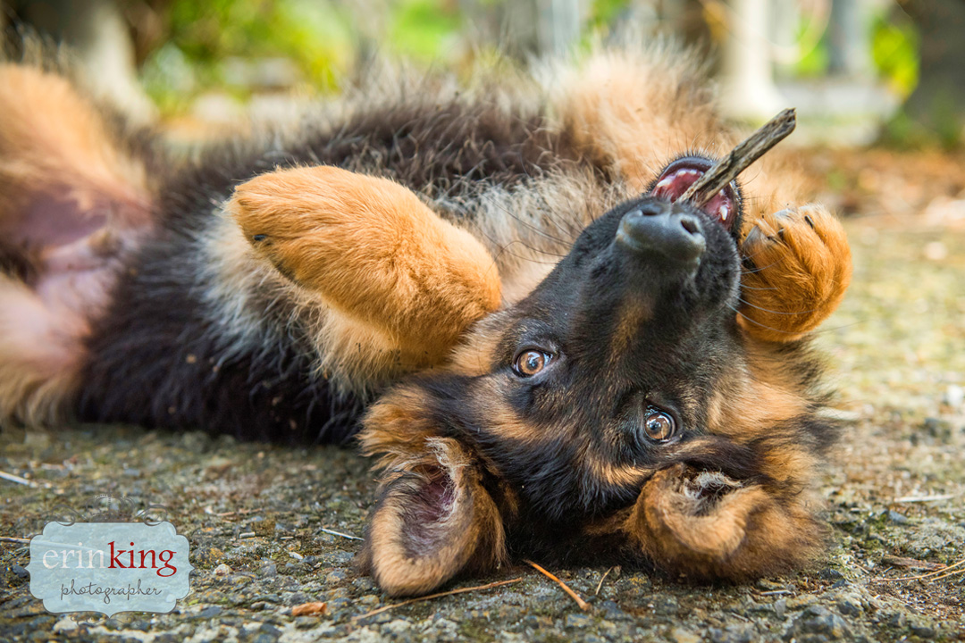 German Shepherd puppy Pet Photography Portfolio