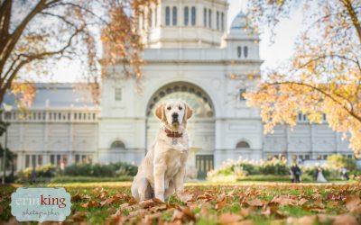 Ollie the Golden Retriever Puppy – Melbourne Pet Photography