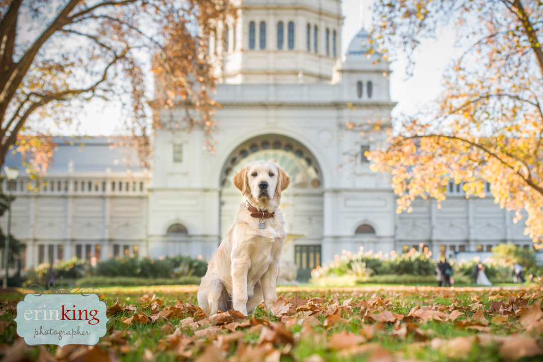Labrador Exhibition building Pet Photography Portfolio