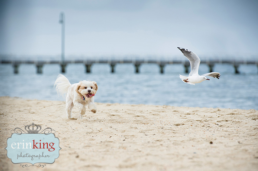 dog at beach Pet Photography Portfolio
