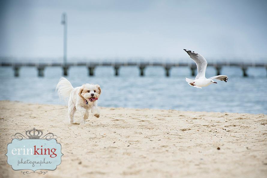 dog at beach Pet Photography Portfolio