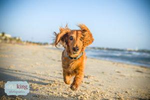 beach dachshund
