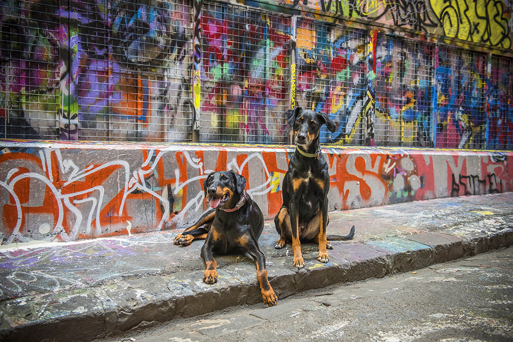 Dobermans in the city after