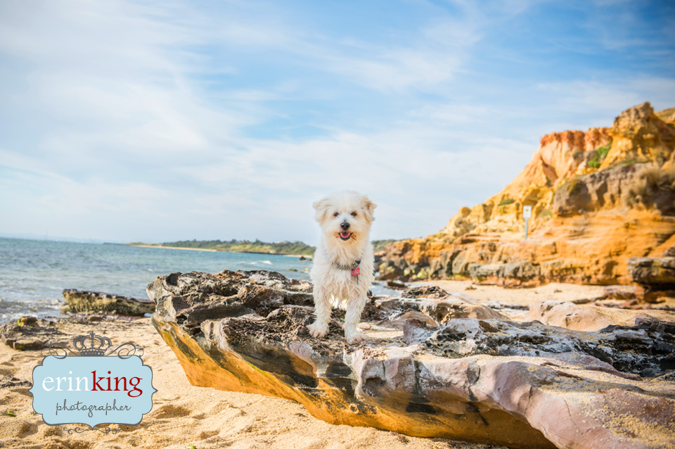 Maltese dog at the beach