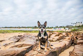 Kelpie at the beach