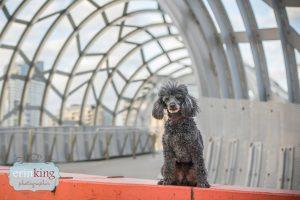 Poodle Pet Photography web bridge