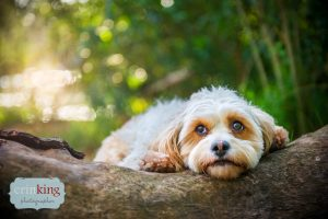 Rory maltese pet photography