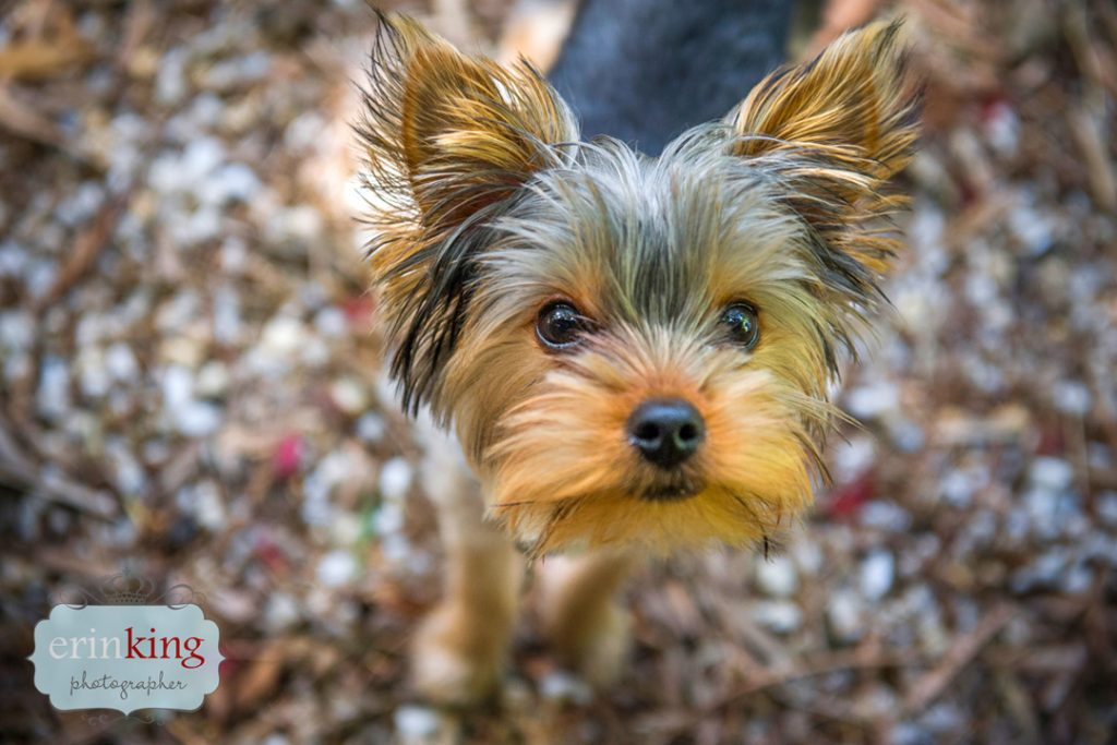 yorkie pet photography