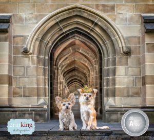 Royal chihuahuas award winning pet photography