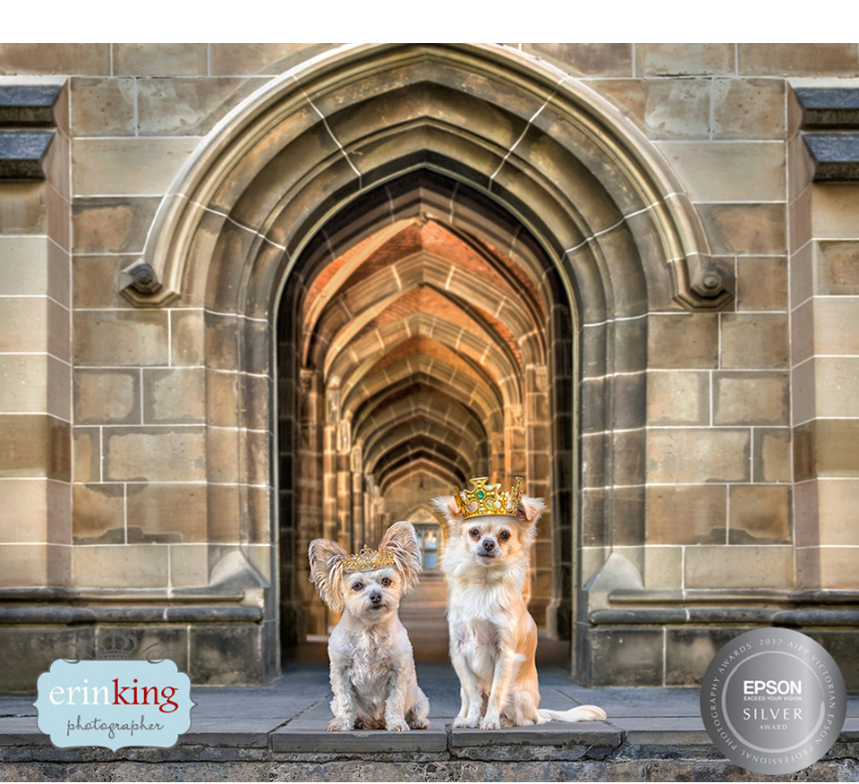 Royal chihuahuas award winning pet photography