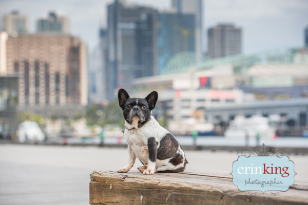 Melbourne rescue dog French Bulldog