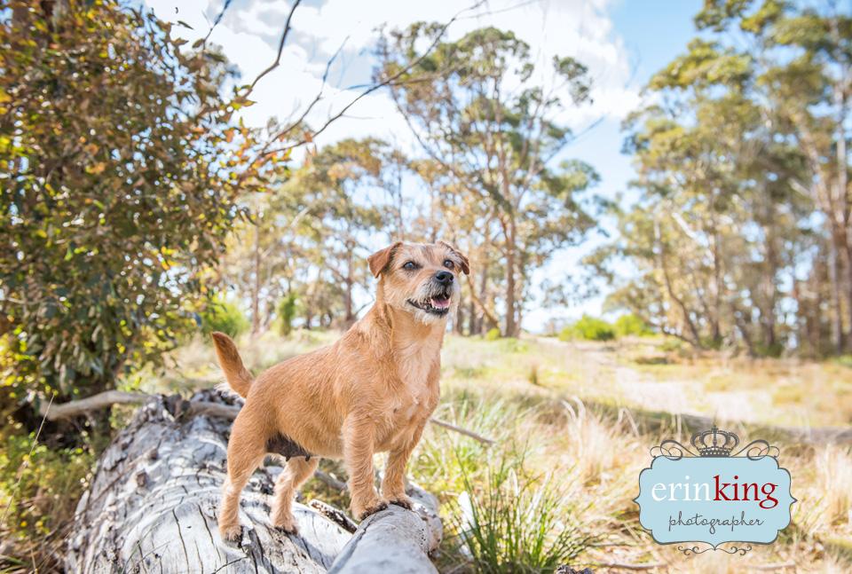 Australian Terrier pet photography