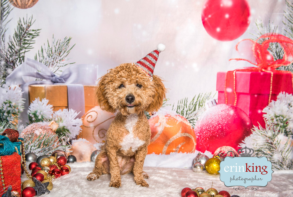 christmas cavoodle dog