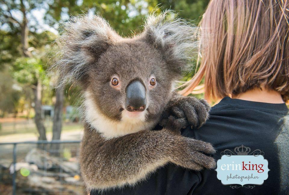 Rookeepers Koala