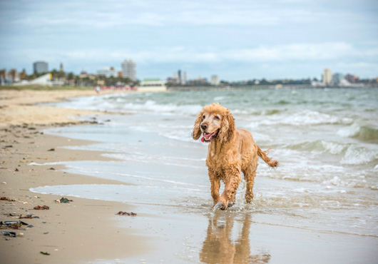 Spaniel dog at the beach