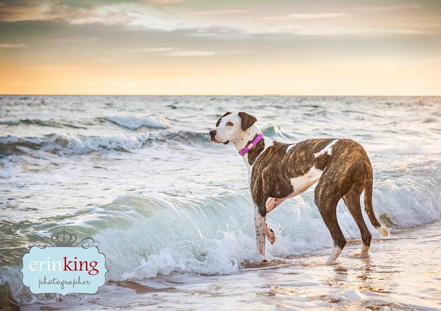 Great Dane dog pet photography