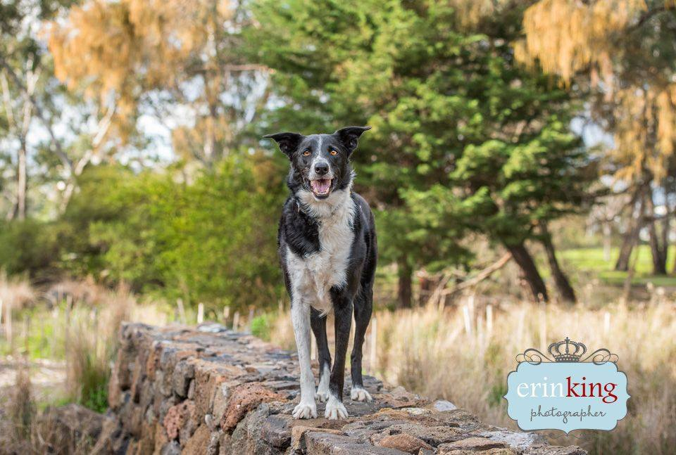 Kelpie dog pet photography