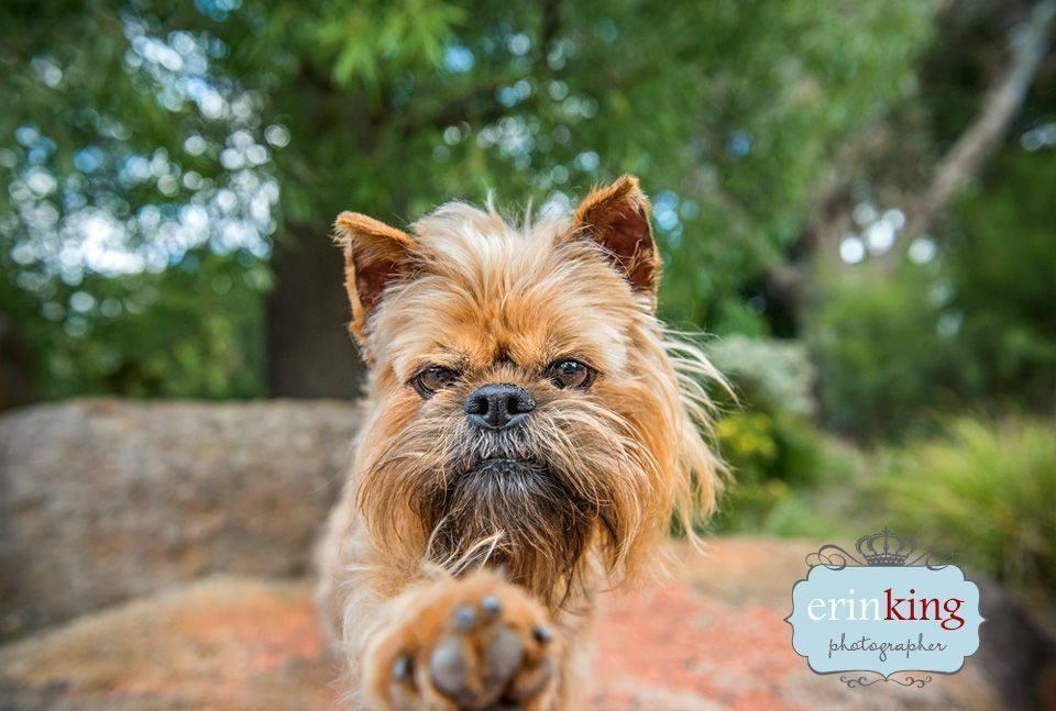 Brusells Griffon dog pet photography