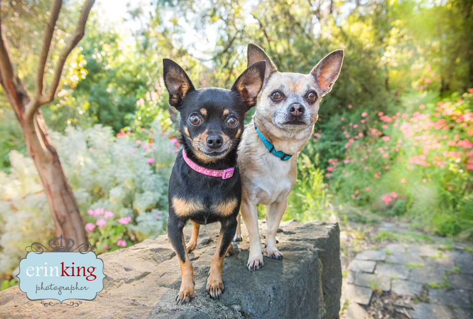 chihuahua dogs pet photography