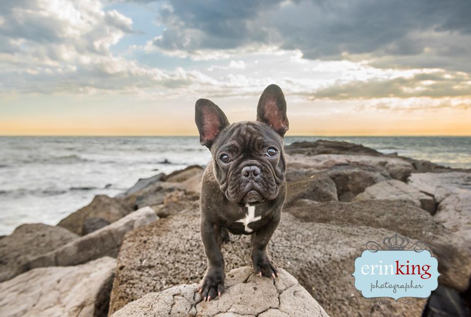 french bulldog pet photography